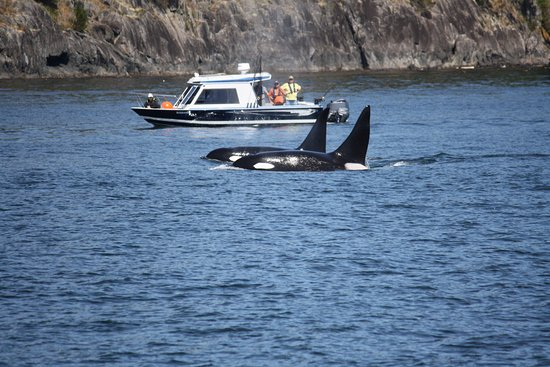 Eagle Wing Whale Watching Tours: Killer Whale