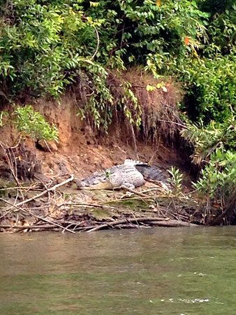 Crocodile basking on the river bank, Daintree River from the Solar Whisper, August 2016