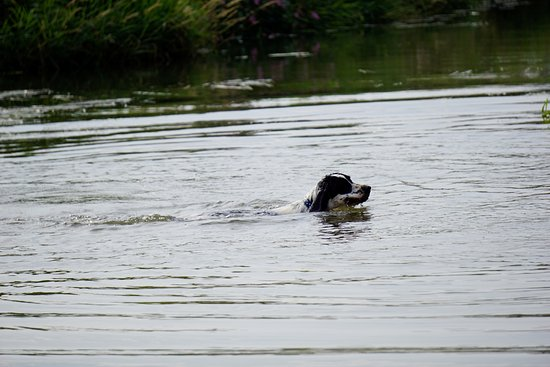 Newenden, UK: spaniel that jumped into the river