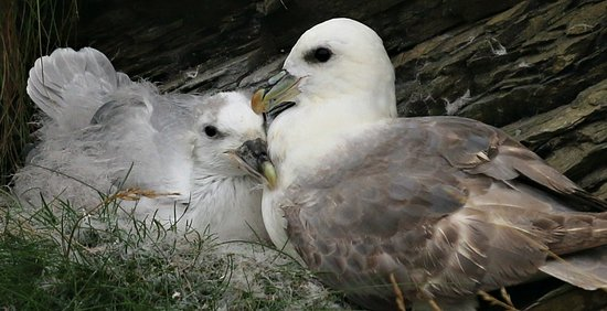 Thurso, UK: Fulmar and Chick