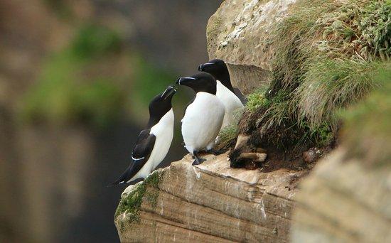 Thurso, UK: Razorbills