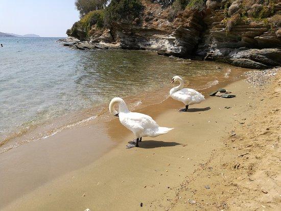I cigni sulla spiaggia di Batsi