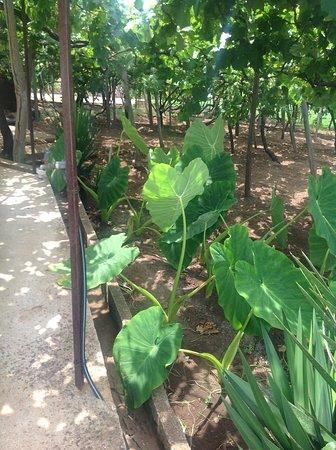 Estreito da Calheta, البرتغال: Patates douces et vignes au pied d'une terrasse.