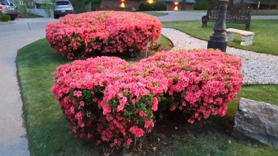 Grove, OK: Azaleas in Bloom