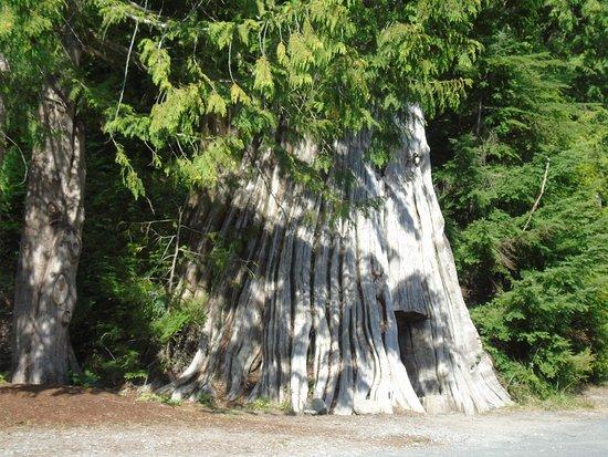 Anmore, Kanada: Old Stumps