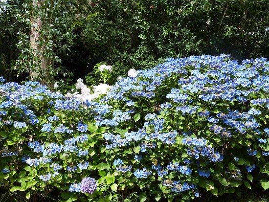 Combrit, Francia: Des touffes d'hortensias de toutes les couleurs