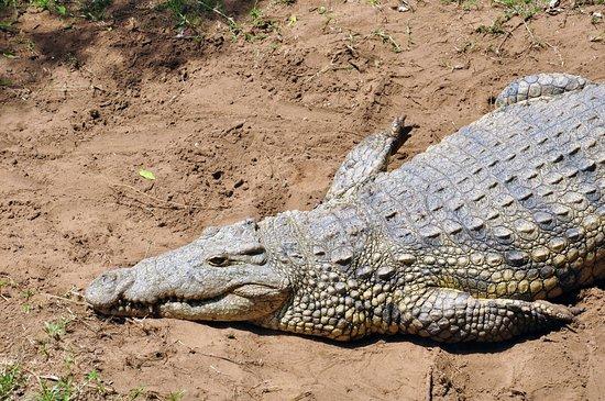 St Lucia, Südafrika: Fat croc