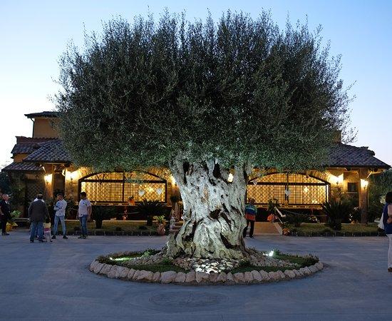 Province of Caserta, Ιταλία: Vecchio Ulivo
