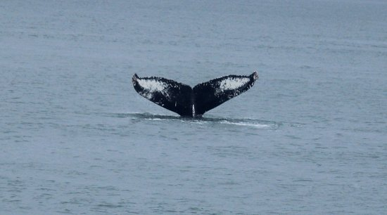 Eagle Wing Whale Watching Tours: Humpback Tail