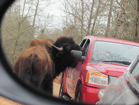 Pine Mountain, GA: Buffalo. They are scary as they are so big, but they wont' grab food from you like the zebras do