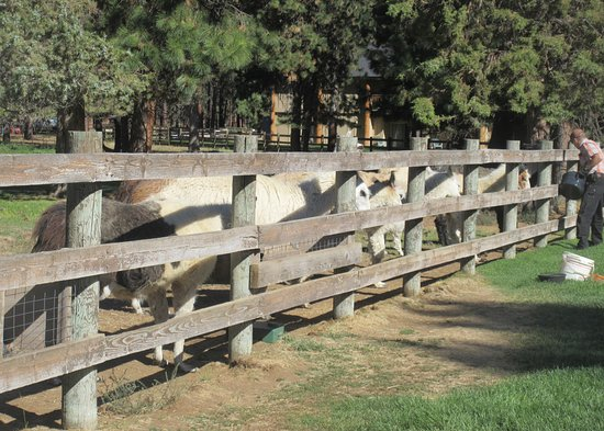 LLamas, Best Western Ponderosa Lodge, Sisters, Oregon
