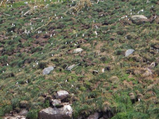 Bay Bulls, แคนาดา: Puffins nesting