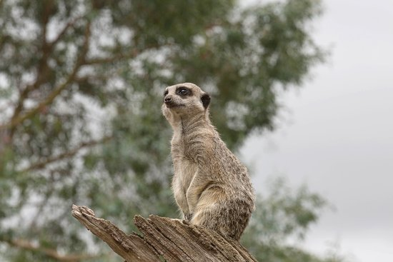 Burford, UK: Meerkat