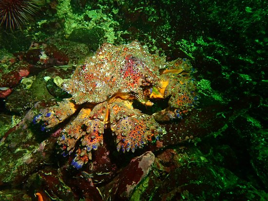Hornby Island, Canada: Puget Sound King Crab