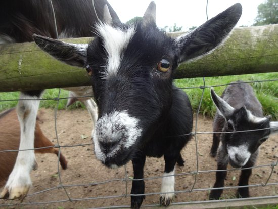 Harlech, UK: Some of the lovely friendly animals at the farm park