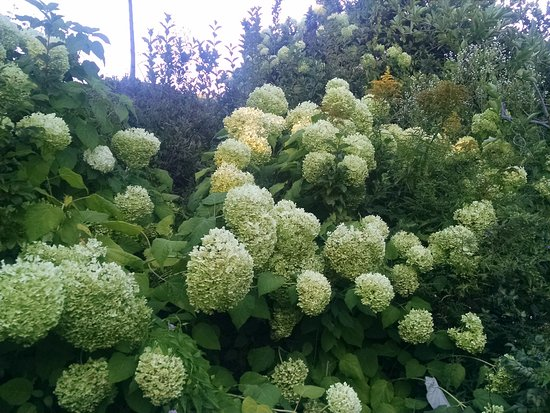 Camden, ME : Hostas were in bloom