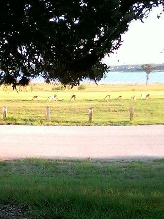 Canyon Lake, Teksas: Afternoon deer feeding