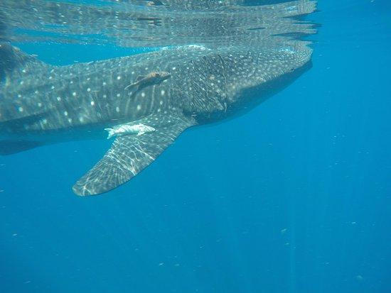 Ocean Tours Water Sports,  El Cozumeleno Beach Resort: excursion tiburon ballena , inolvidable