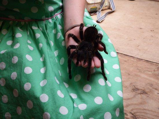 Kettering, UK: Bird eating spider (tarantula)
