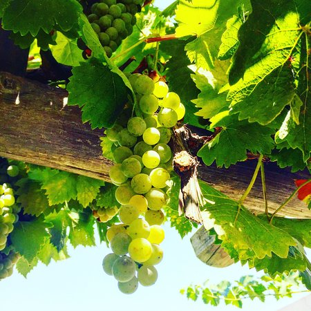 Paso Robles, Californie : Grapes and Pistachio Trees