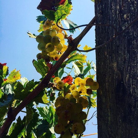 Paso Robles, Kalifornien: Grapes and Pistachio Trees