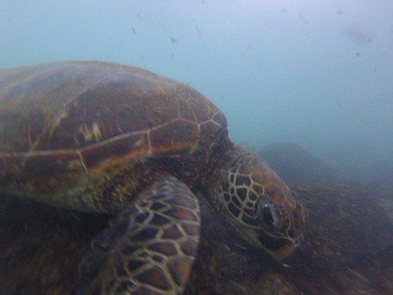 Puerto Baquerizo Moreno, Ecuador: sea turtle at Kicker Rock