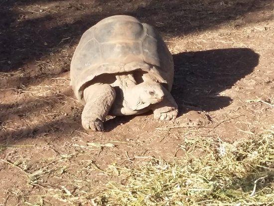 Flic en Flac: tortue géante de Chamarel