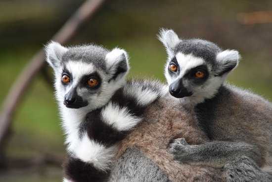 Milnthorpe, UK: The walk in Lemur enclosure is so great - you can get really close to the lemurs