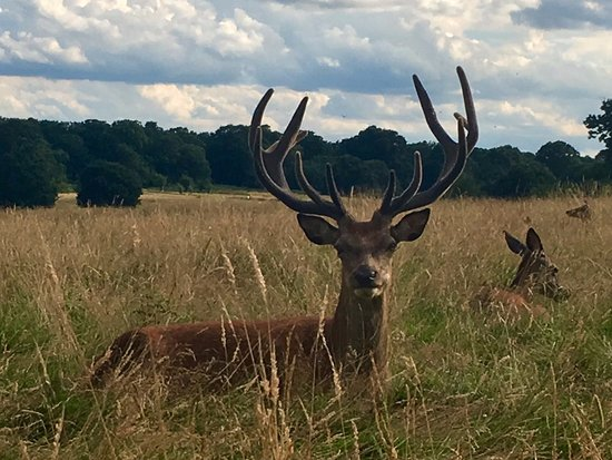 Richmond-upon-Thames, UK: Close up to a beautiful deer