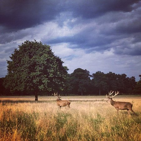 ‪‪Richmond-upon-Thames‬, UK: Deers‬