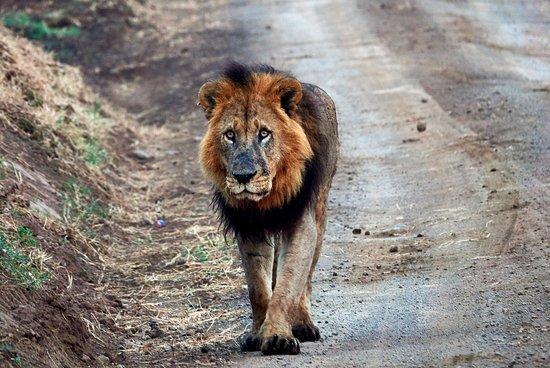 Lake Nakuru National Park, Kenya: Lion at Nakuru