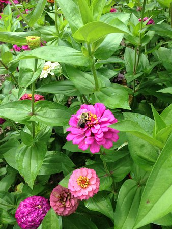 Bloomington, IL : A busy bee doing his work in the gardens