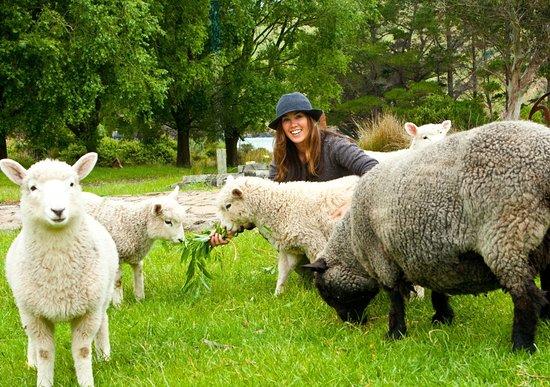 Pohatu Penguin Habitat: Feeding our pet sheep, a real kiwi experience