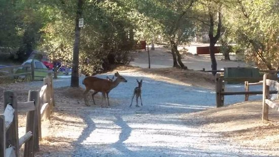 Coloma, CA: Deer wandering through the campsite