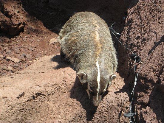 Williams, AZ: Badger