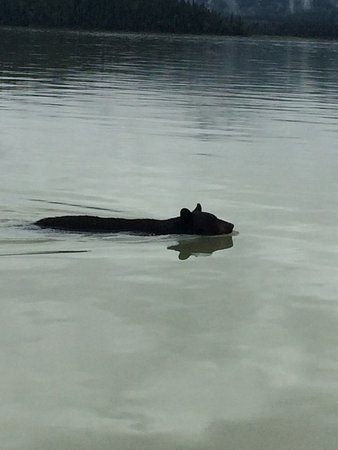Blue River, Kanada: a bear swimming very close to our boat