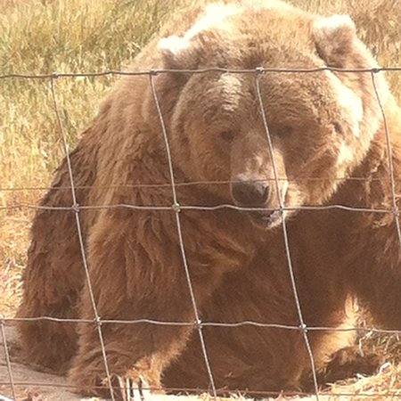 Sequim, WA: Kodiak bear