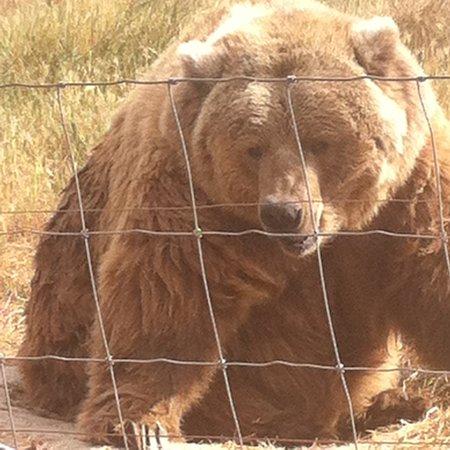 Sequim, WA: Kodiak bear
