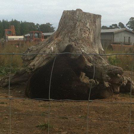 Sequim, WA: Sleeping black bear under a stump