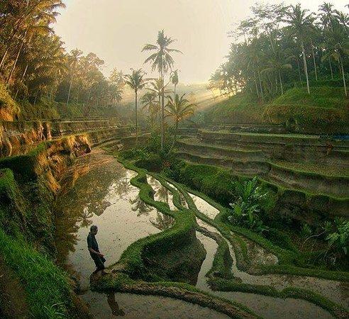 เกโรโบกัน, อินโดนีเซีย: Rice Terrace