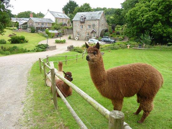 Umberleigh, UK: Alpacas outside the cottage