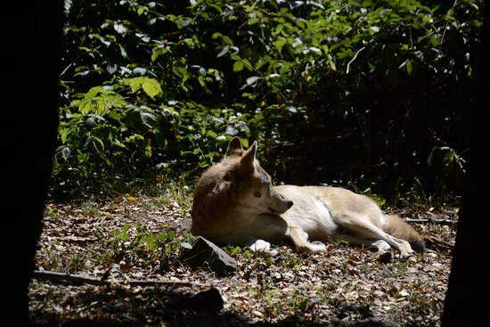 Merzig, Duitsland: a wolf relaxing in the sun, comparably close to the fence
