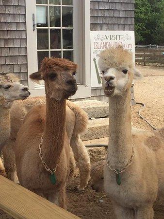 Oak Bluffs, MA: Each alpaca has it's own personality. So fun!