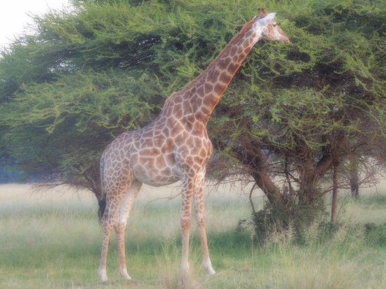 Modimolle (Nylstroom), Sudáfrica: giraffa