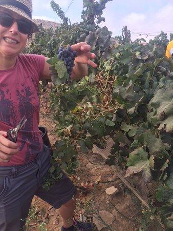Sde Boker, Israel: Harvesting Merlot grapes