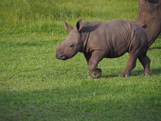 Yulee, Φλόριντα: Baby Rhino