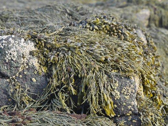 Smith's Cove, Kanada: Algae
