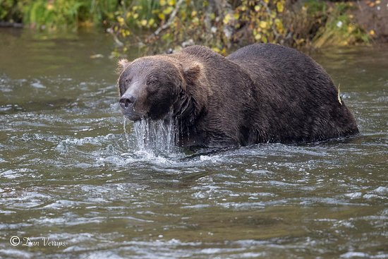 Bald Mountain Air Service: Brown bear intensely looking for salmon
