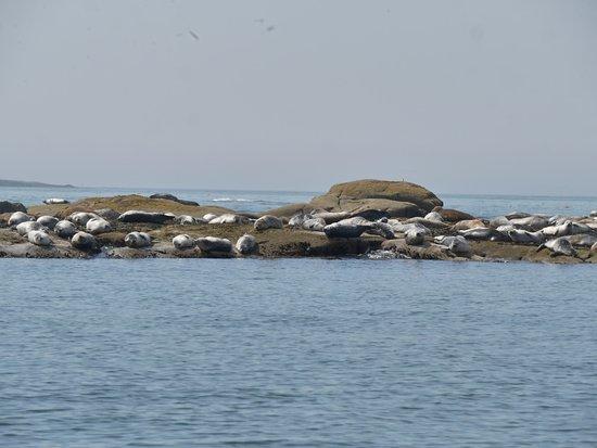 Stonington, ME: Seals sunning