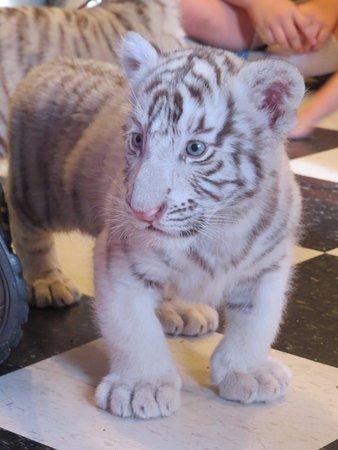 Calhan, CO: White Tiger Cub Encounter